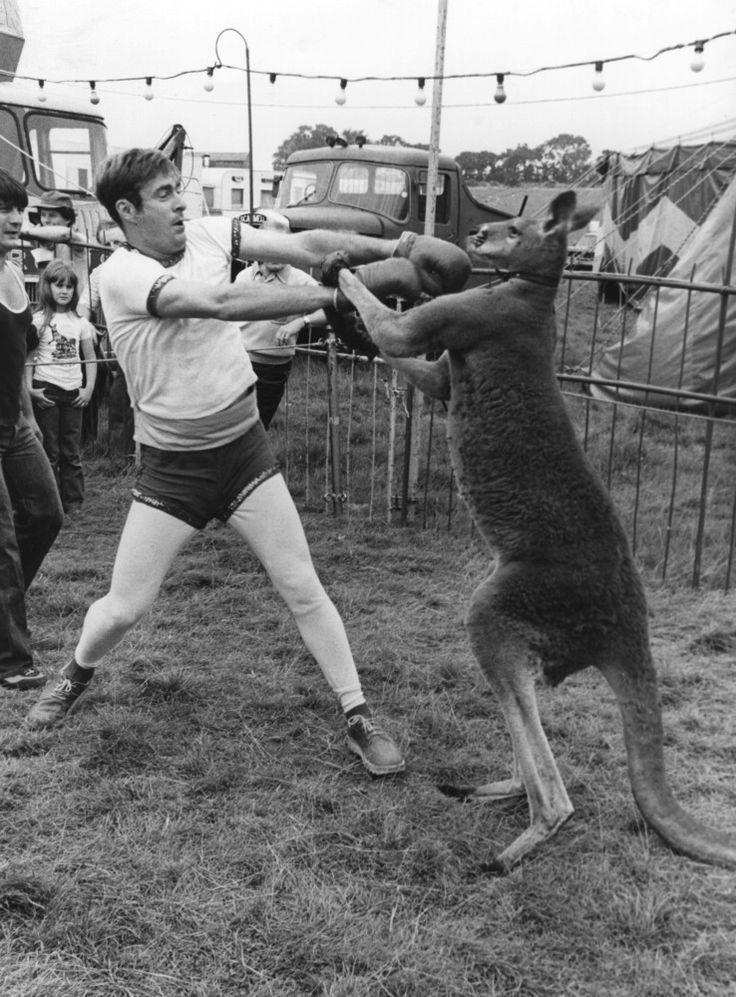 Фото боксер, драка, кенгуру, прикол