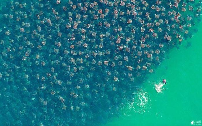 скат, миграция, рыба, море