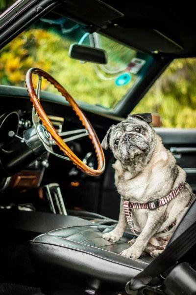 Фото авто, в машине, за рулем, собака