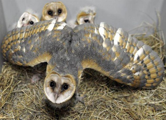 Фото прикол детеныши, крылья, птица, сова