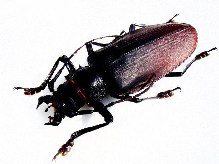 жук-титан, насекомое, жук