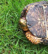 Спариваясь восточная коробчатая черепаха делает удивленное выражение лица