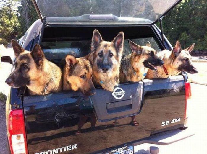 Смешная фотогалерея в машине, питомцы, собаки