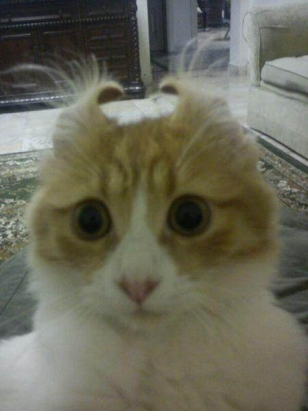 Бугагашеньки котенок, питомец, ушки