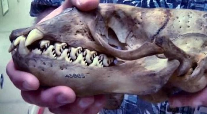 тюлень, скелет, череп, зубы,