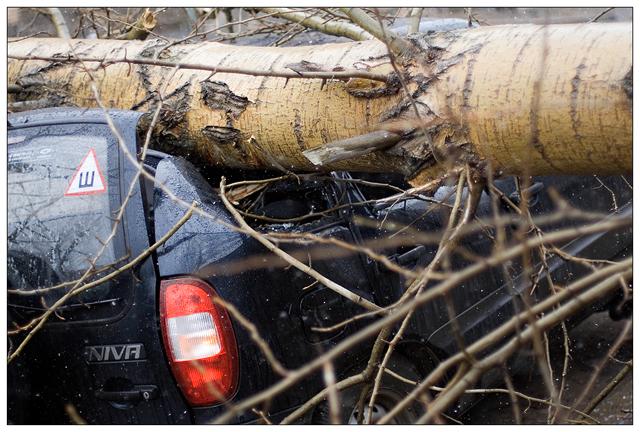 Тополя убийцы машин (8 фото)