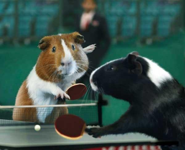 Морские свинки в большом спорте (9 фото)