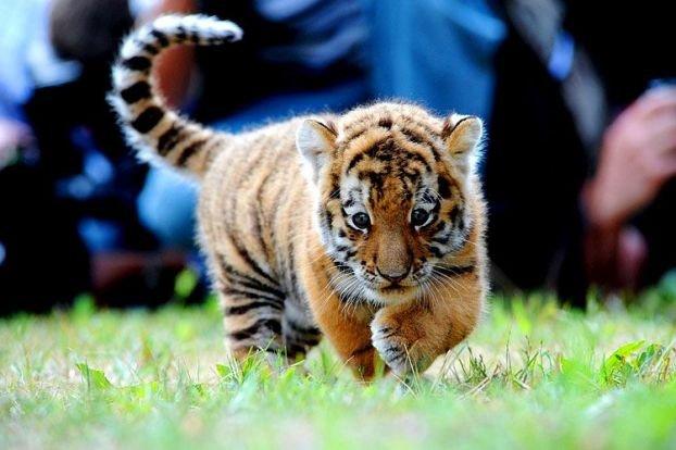 http://ua.fishki.net/picsw/082008/15/bonus/tigryata/003_tigryata.jpg