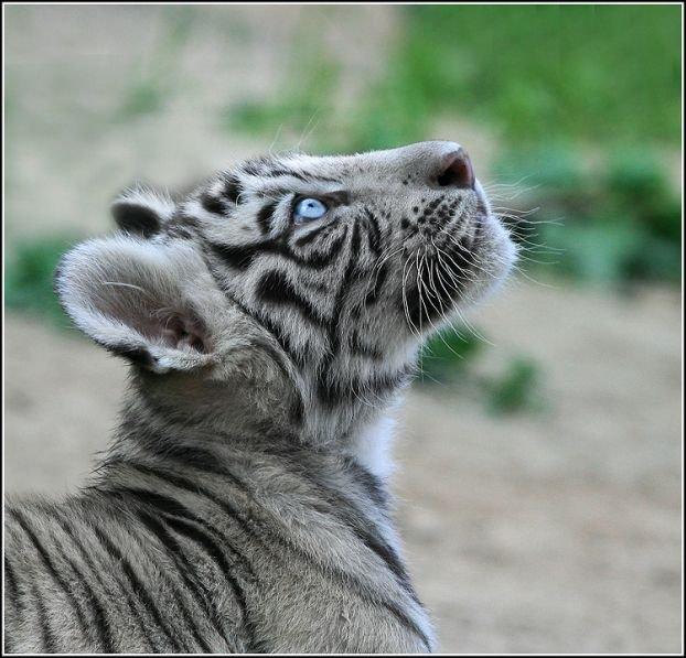 http://ua.fishki.net/picsw/082008/15/bonus/tigryata/008_tigryata.jpg