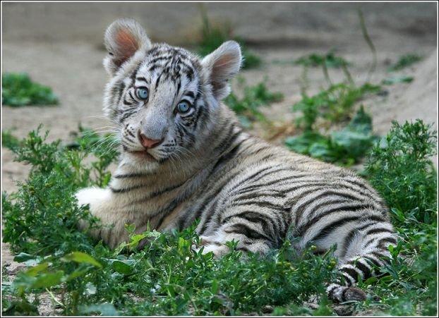 http://ua.fishki.net/picsw/082008/15/bonus/tigryata/011_tigryata.jpg