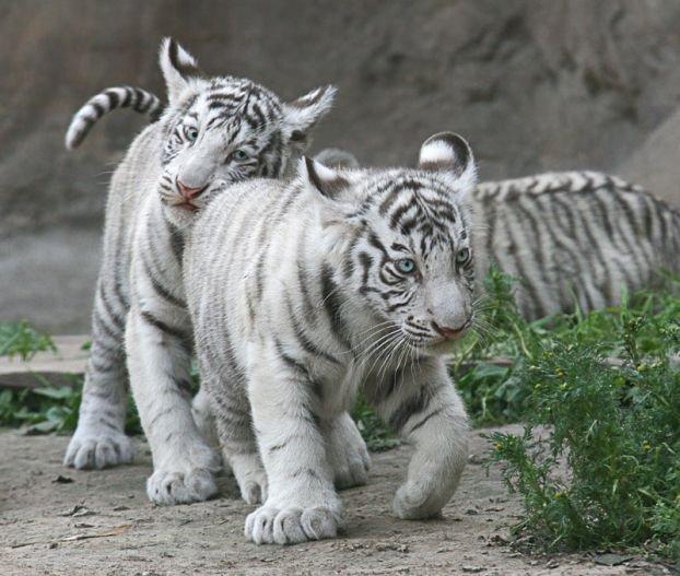 http://ua.fishki.net/picsw/082008/15/bonus/tigryata/016_tigryata.jpg