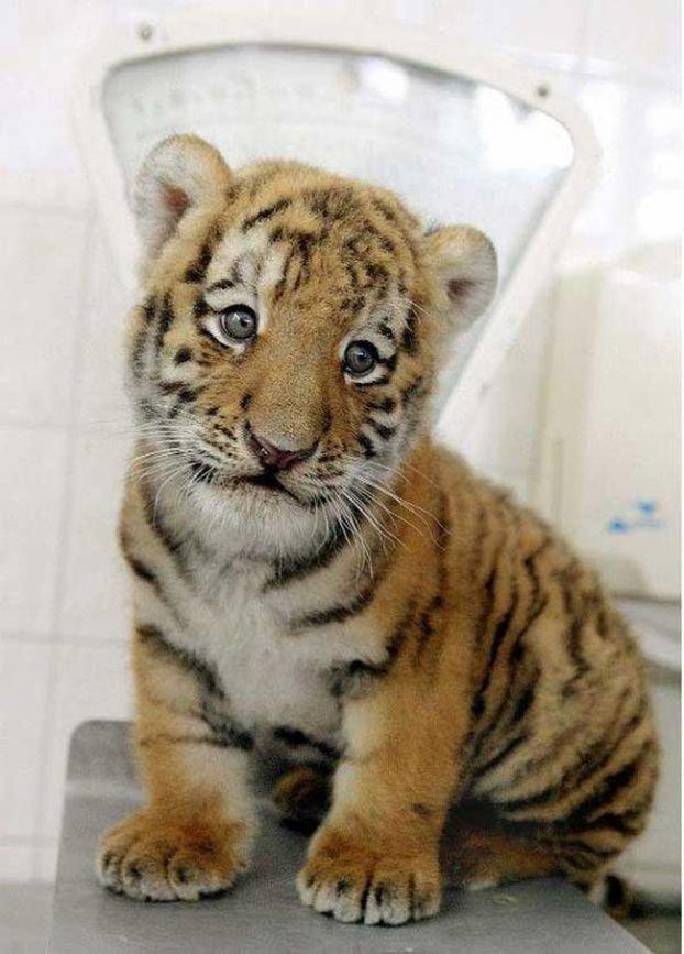 http://ua.fishki.net/picsw/082008/15/bonus/tigryata/021_tigryata.jpg