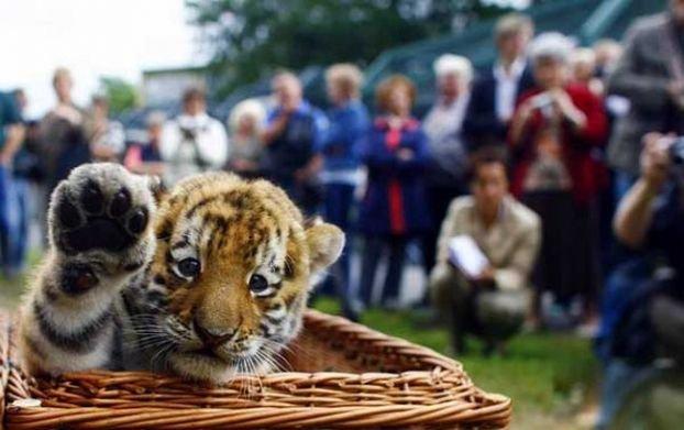 http://ua.fishki.net/picsw/082008/15/bonus/tigryata/022_tigryata.jpg