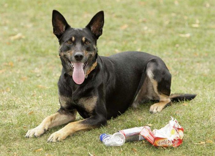 Собака собирающая мусор (11 фото)