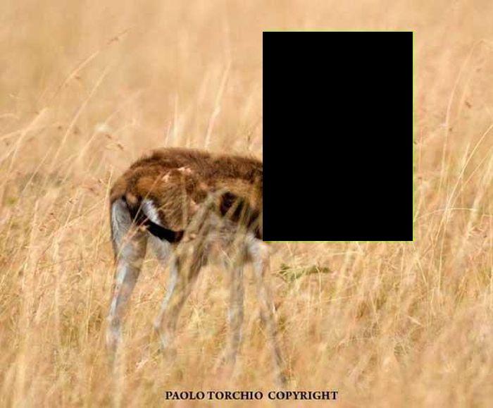 Бородатую антилопу смог увидеть только фотограф (3 фото)