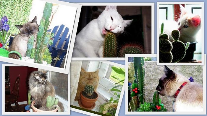 Кошки и кактусы (4 фото)