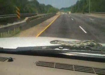Змея путешествует на капоте