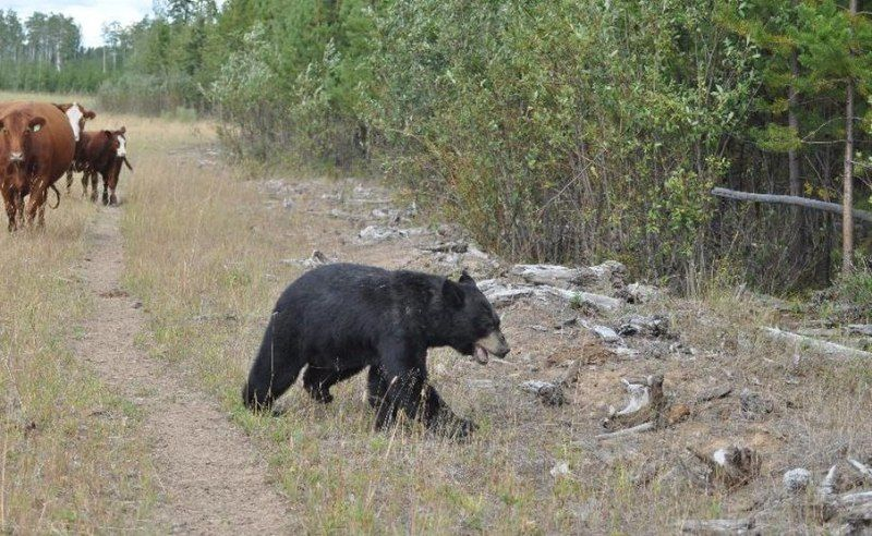 Медведь против стада коров (8 фото)