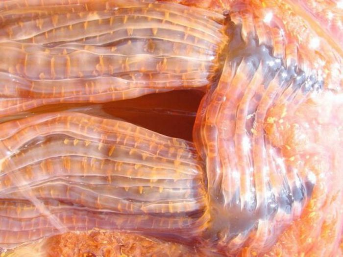 Гиганская медуза на берегу в штате Вашингтон (13 фото + видео)