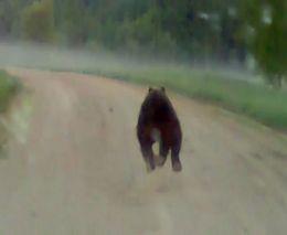 Медведь шпарит по дороге
