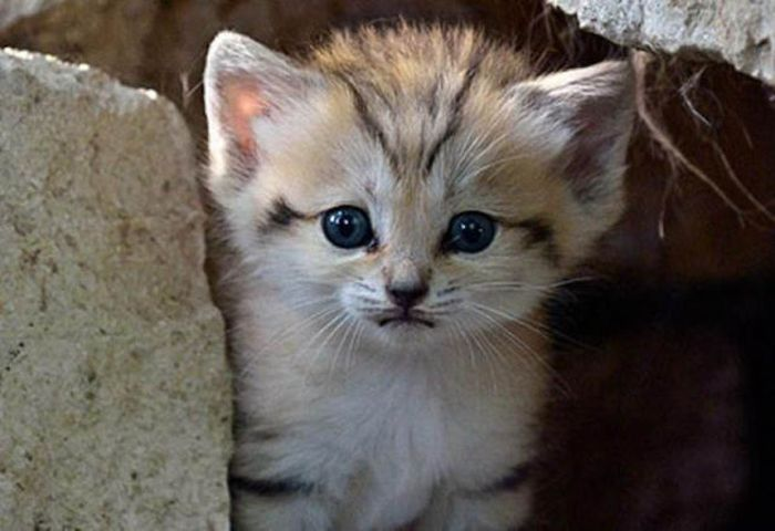 Песчаная кошка родила котенка (13 фото)