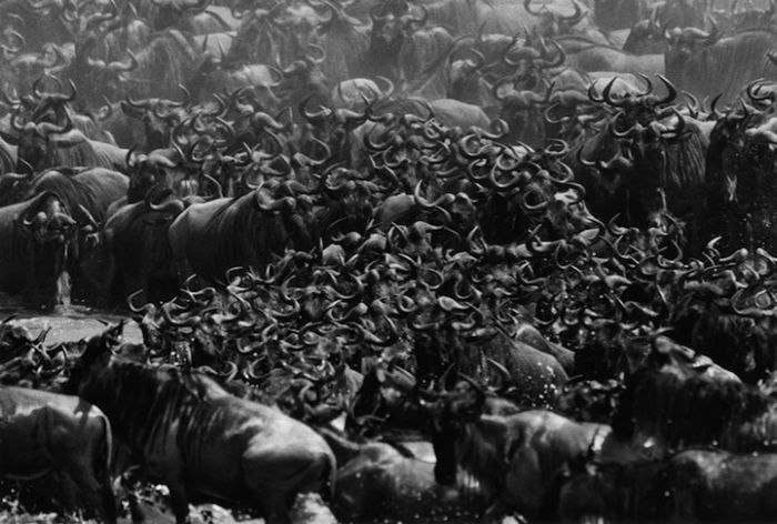 Миграция антилоп гну (12 фото)