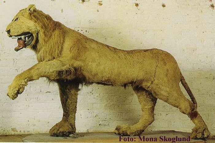 Забавный лев для короля Швеции (3 фото)