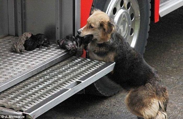 Собака-спасатель (4 фото)