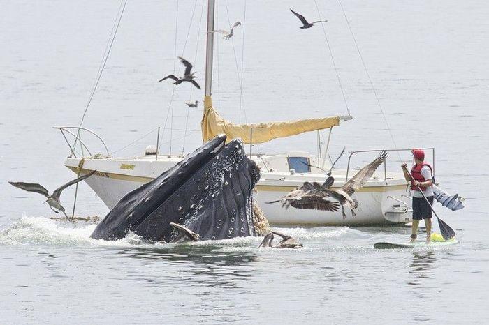 Горбатые киты у побережья Калифорнии (5 фото)