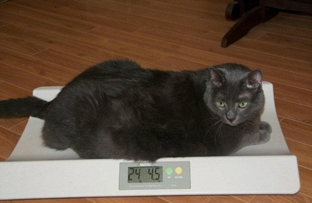 Как сбросить вес у кошки