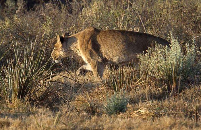 Чудом вырвалась из лап львицы (6 фото)