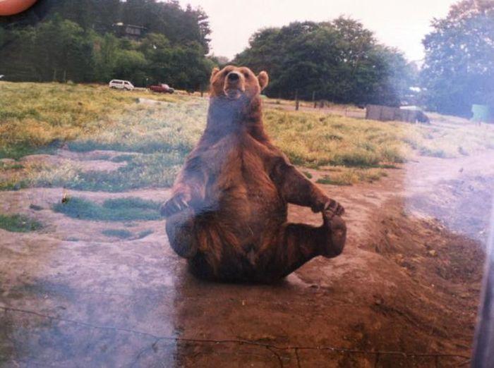 Смешная фотогалерея зверь, медведь, поза, прикол