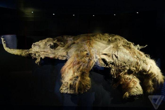 мамонт, мумия, музей, япония,