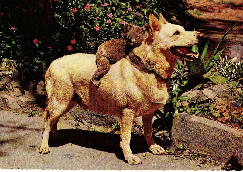 Пикантный фотоприкол коала, мишка, питомец, собака