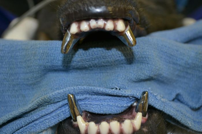 собака, титан, зуб