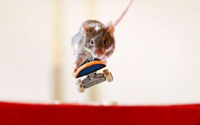 Экстремальные грызуны на скейтбордах (15 фото)