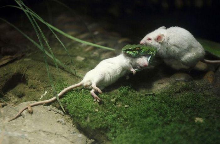 Отважный мышонок спасает друга из пасти змеи (10 фото)