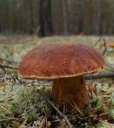 Белые грибы в Коми