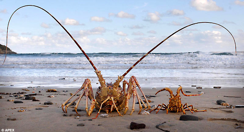 http://de.fishki.net/picsw/092007/20/lobster/lobster_003.jpg