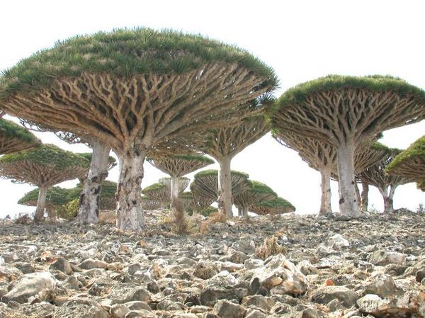 Остров Cокотра (Socotra) (24 фото)