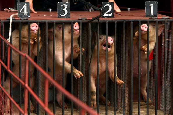 Свиные гонки в Мельбурне (17 фото)