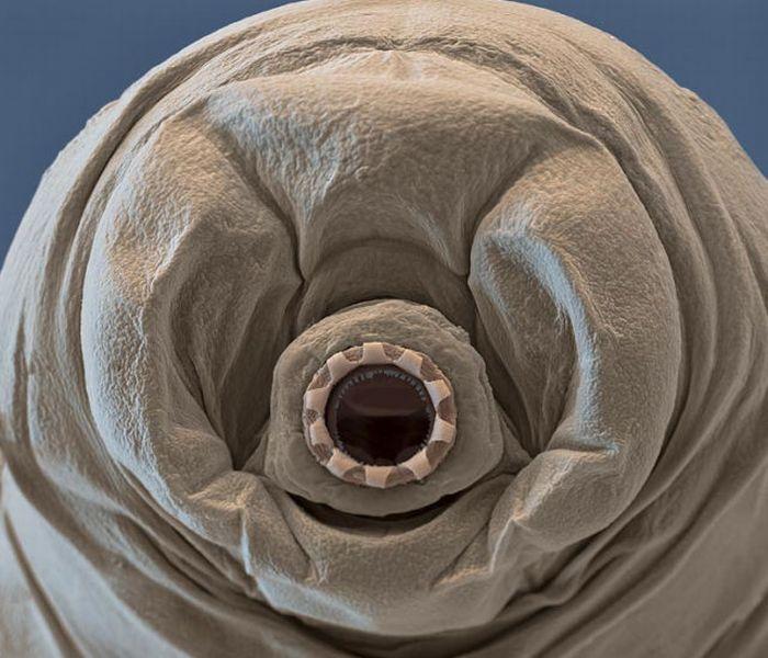 Тихоходки – одни из самых удивительных существ на Земле (12 фото)