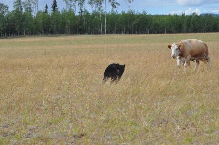 Медведь отхватил от коров (13 фото)
