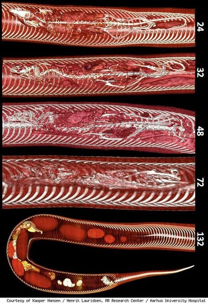 Картинки по запросу Что увидели ученые, заглянув внутрь питона, съевшего крысу