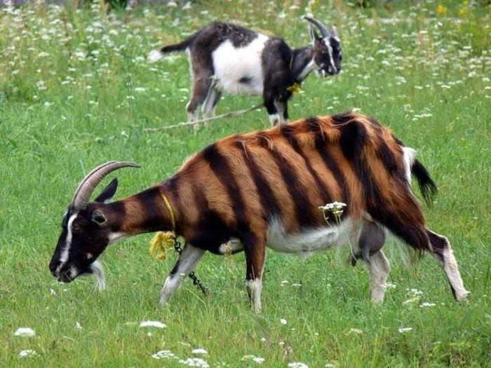 Тигровая коза (4 фото)