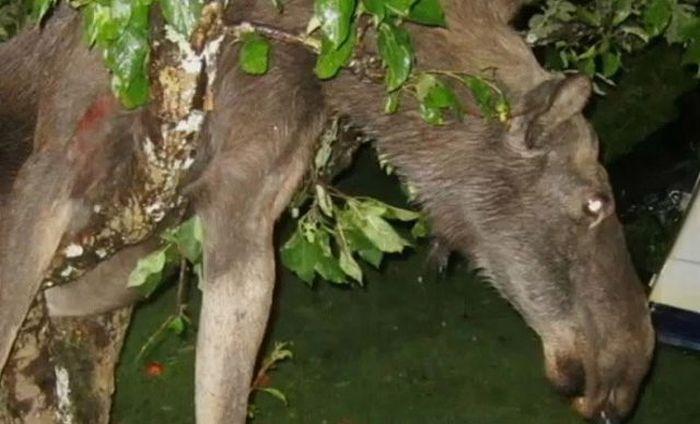 Захмелевший лось повис на яблоне ()