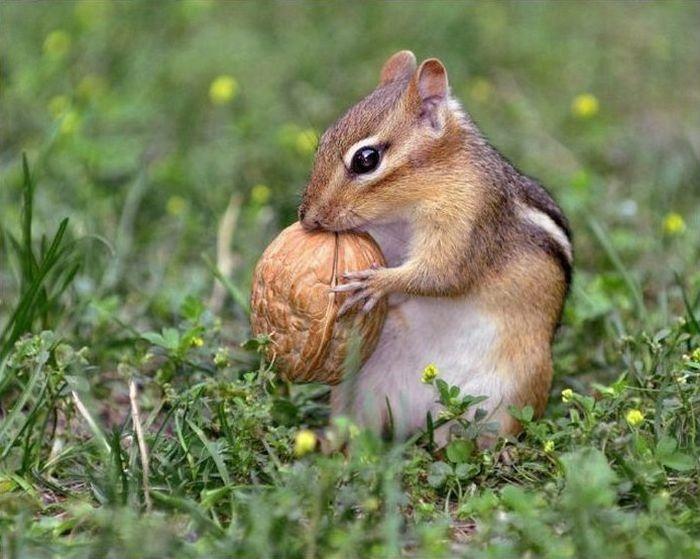 главное картинка бурундук с орехами россия