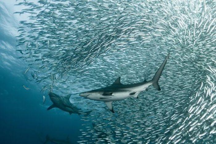 Огромные косяки рыб (9 фото)
