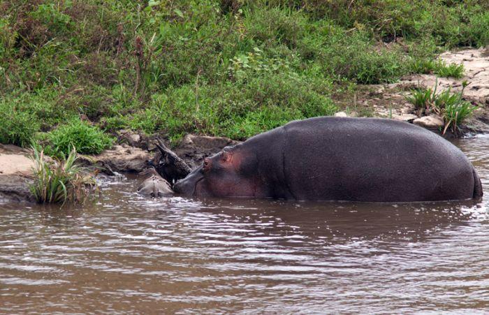 Как бегемот спасал антилопу от крокодила (17 фото)