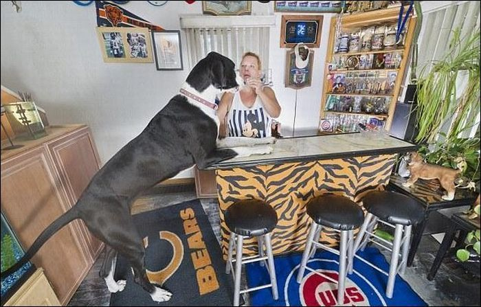 Самая высокая собака - дог Нова (4 фото)